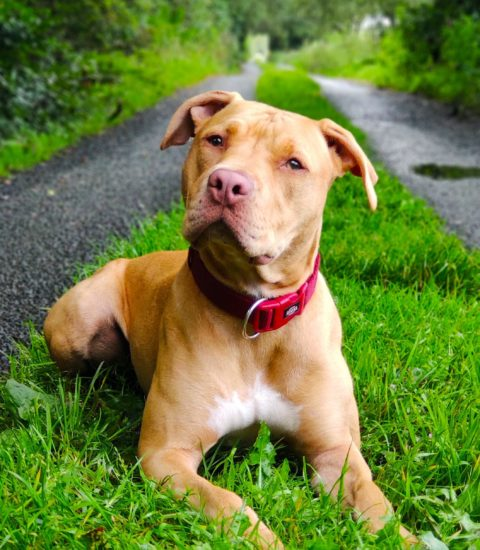 Tequila – American Pitbull Terrier