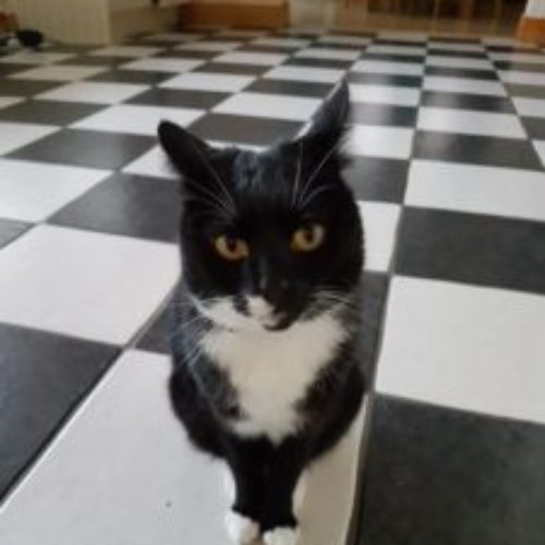 Tuxedo – Cat