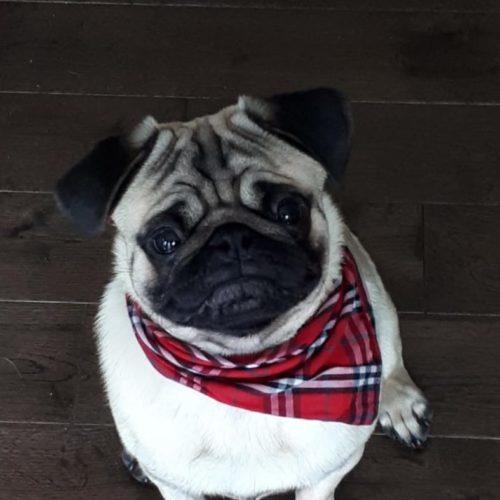 Louis – Pug