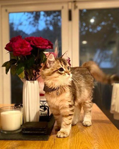 Bruno – Siberian Forest Cat (2)